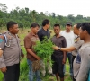 Mengaku Ketagihan, Seorang Petani Nekat Tanam Ganja untuk Konsumsi Sendiri